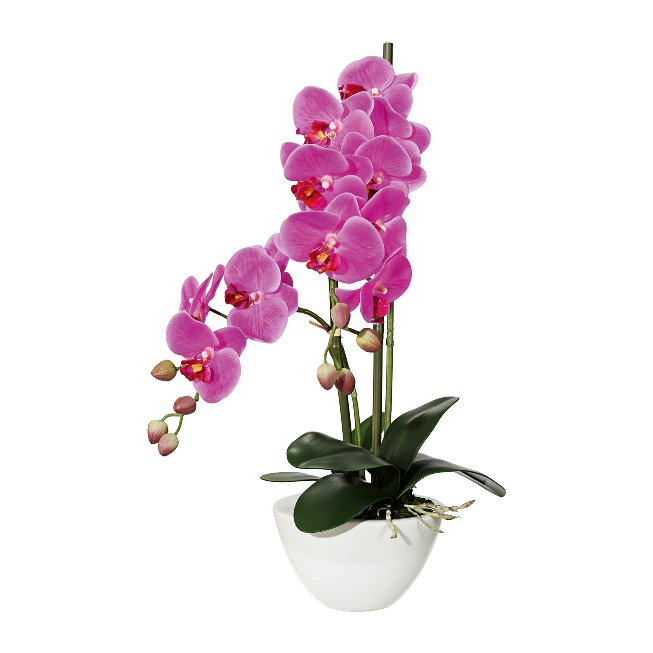 Phalaenopsis x12