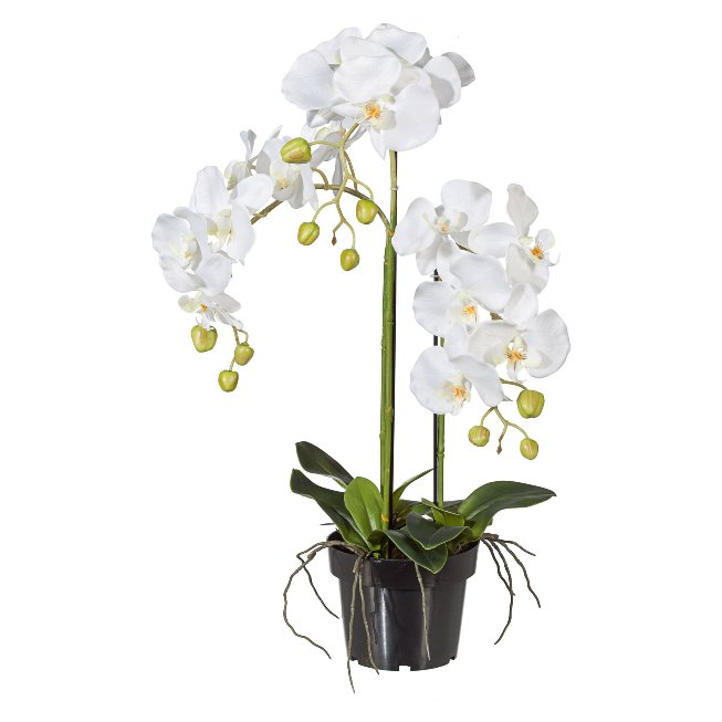 Phalaenopsis 62cm