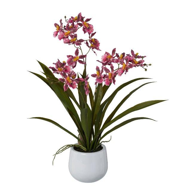 Gambia-Orchidee im Keramiktopf