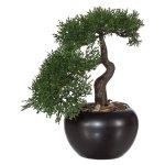 Bonsai Cedar, ca. 25 cm, In,Ceramic Pot Black Ø13 cm,