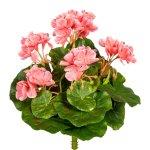 Mini Geranium x7, ca. 24 cm, 5,Flowers, Pink, Uv-Resistant