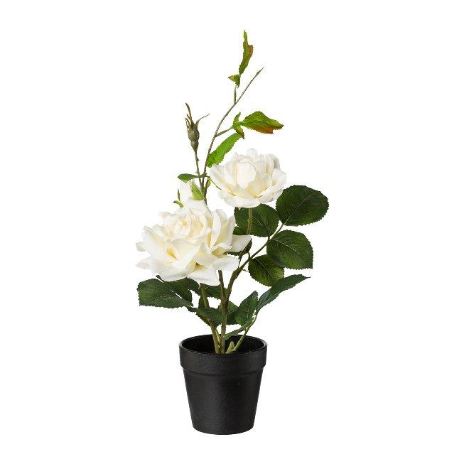 Rosenbusch im Topf