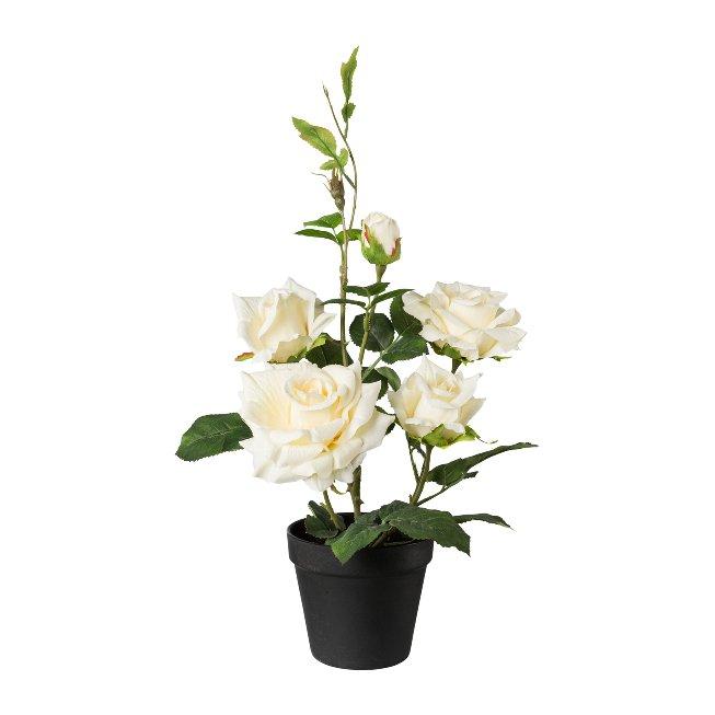 Rose bush in pot, 48 cm, cream