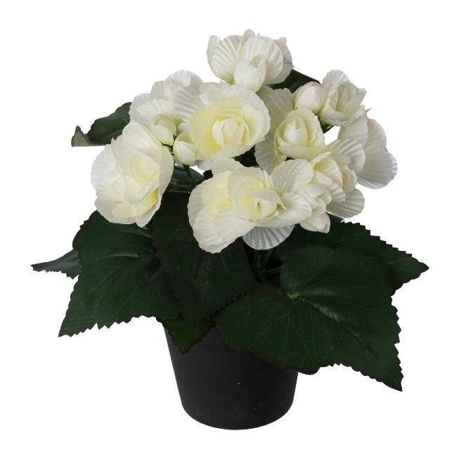 Begonia in pot, 24 cm, white
