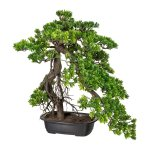 Bonsai Podocarpus, ca. 55x45,cm, Green, In Plastic Bowl
