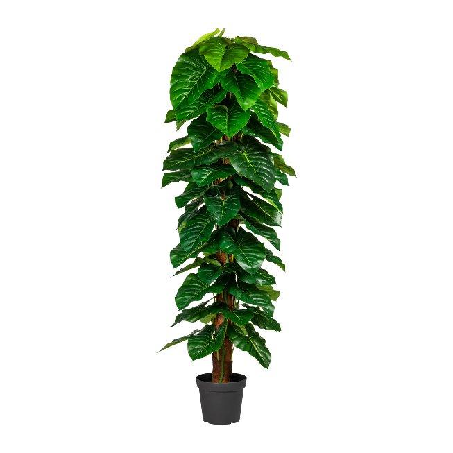 Anthurium Plant, ca. 190 cm,Green, On Coconut Trunk,