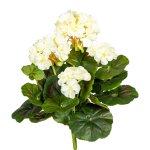Geranium Bush x7, ca. 32 cm,White