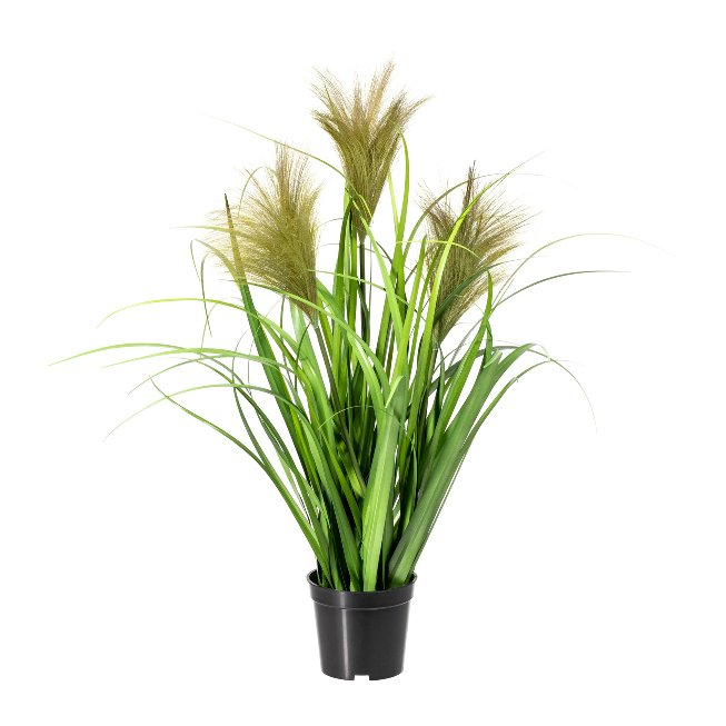 Chinese Reed x3, ca. 60 cm,Green, In Pot 9,5x D=11 cm